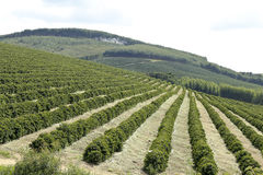 Plantation de café de ferme au Brésil Images libres de droits