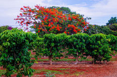 Plantation de café de Kauai Photos libres de droits