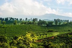 Plantation de café du Costa Rica Photographie stock libre de droits