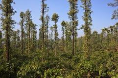Plantation de café et de poivre Images stock
