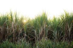 Plantation de canne à sucre avec le lever de soleil Photographie stock libre de droits