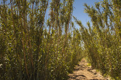 Plantation de canne de Reed Photo stock
