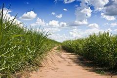 Plantation de cannes à sucre Photographie stock