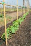 Plantation de cantaloup Image libre de droits