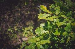 Plantation de chêne en automne Photographie stock libre de droits