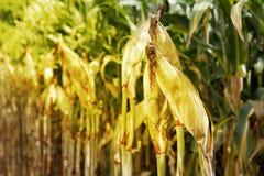 Plantation de champ de maïs de champ de culture de maïs Photographie stock libre de droits
