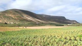 Plantation de champ de Vera d'aloès dans la partie du nord de l'île avec les agriculteurs travaillants, Lanzarote, Îles Canaries, banque de vidéos