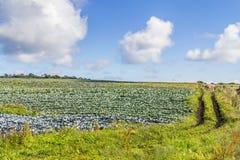 Plantation de chou Photo stock