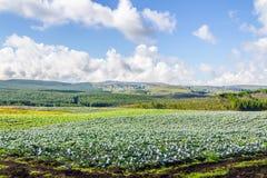 Plantation de chou Images libres de droits