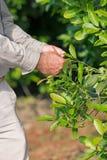 plantation de compagnon de yerba Images stock