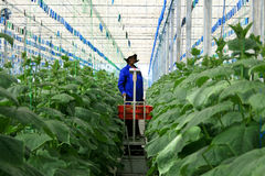 Plantation de concombre de serre chaude Photo stock