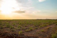 Plantation de coucher du soleil de canne à sucre Photographie stock libre de droits