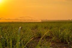 Plantation de coucher du soleil de canne à sucre Photographie stock