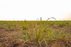 Plantation de coucher du soleil de canne à sucre Photos stock