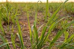 Plantation de coucher du soleil de canne à sucre Photo stock