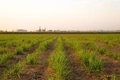 Plantation de coucher du soleil de canne à sucre Images stock