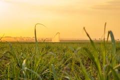 Plantation de coucher du soleil de canne à sucre Image stock