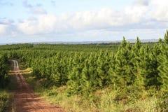 Plantation de forêt de pin Image libre de droits