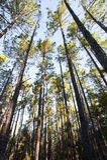 Plantation de forêt des arbres grands minces images stock