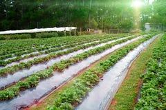 Plantation de fraise Photographie stock libre de droits