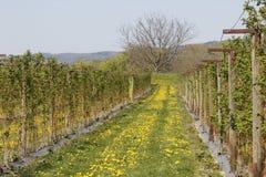 Plantation de framboise Photo stock