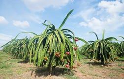 Plantation de fruit du dragon au Vietnam Photos stock