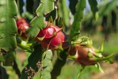 Plantation de fruit du dragon ou de Pitaya (Pitahaya) en Thaïlande Image libre de droits
