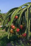 Plantation de fruit du dragon ou de Pitaya Pitahaya en Thaïlande Hylocer Images libres de droits