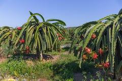 Plantation de fruit du dragon ou de Pitaya Pitahaya en Thaïlande Hylocer Photographie stock