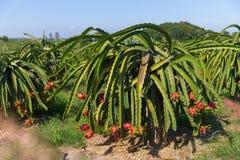 Plantation de fruit du dragon ou de Pitaya Pitahaya en Thaïlande Hylocer Photo libre de droits