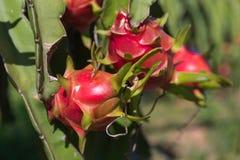 Plantation de fruit du dragon ou de Pitaya Pitahaya en Thaïlande Hylocer Photos libres de droits
