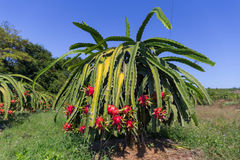 Plantation de fruit du dragon ou de Pitaya Pitahaya en Thaïlande Hylocer Undatus Images stock