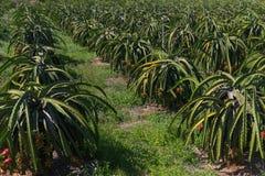 Plantation de fruit du dragon ou de Pitaya Pitahaya en Thaïlande Hylocer Undatus Photos libres de droits