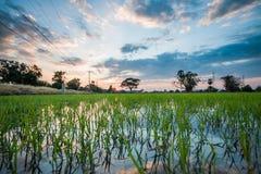 plantation de gisement de riz cultivant dans le lever de soleil de matin Image libre de droits