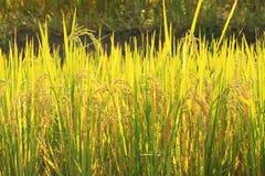 plantation de gisement de riz cultivant dans le lever de soleil de matin Images stock