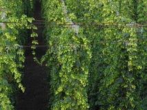 Plantation de houblon Photographie stock libre de droits