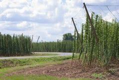 Plantation de houblon Photo libre de droits