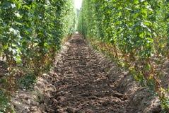 Plantation de houblon Images stock