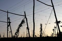Plantation de houblon sélectionnée Photo libre de droits
