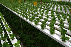 Plantation de Hydrophonic Images stock