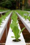 Plantation de Hydrophonic Images stock