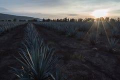 Plantation de l'agave touchée par les rayons du soleil photographie stock libre de droits