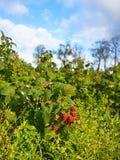 Plantation de l'idaeus L de Rubus de framboises , élevage de fruit sur le buisson, automne Image libre de droits