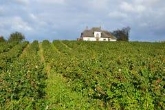 Plantation de l'idaeus L de Rubus de framboises , automne Photo libre de droits