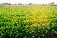 Plantation de la carotte dans le domaine Beau paysage Agriculture affermage rangée végétale Jour ensoleillé agricultu qui respect image stock