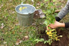 Plantation de la jeune plante dans le jardin image libre de droits