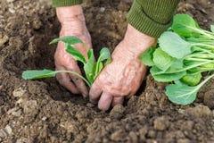 Plantation de la jeune plante de chou Photos libres de droits