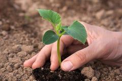 Plantation de la jeune plante de concombre, plan rapproché Photo libre de droits