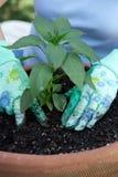 Plantation de la jeune plante de poivre Image libre de droits