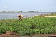 Plantation de la pastèque images libres de droits